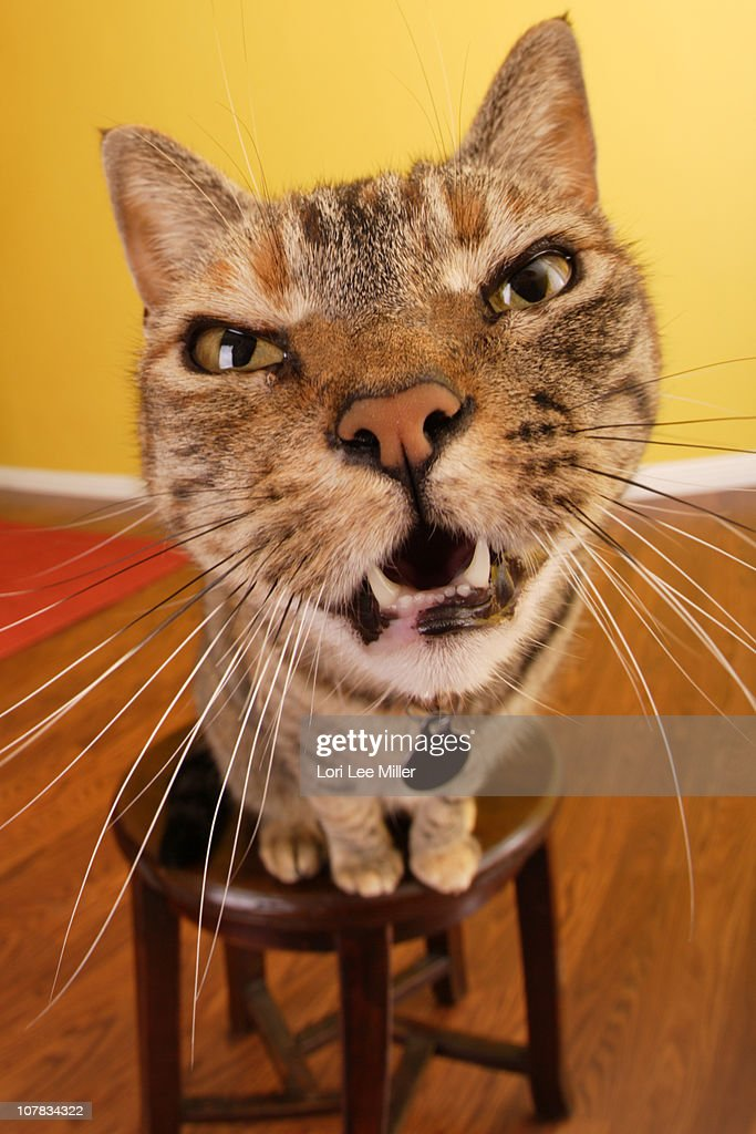 Cat Meowing : Stock Photo