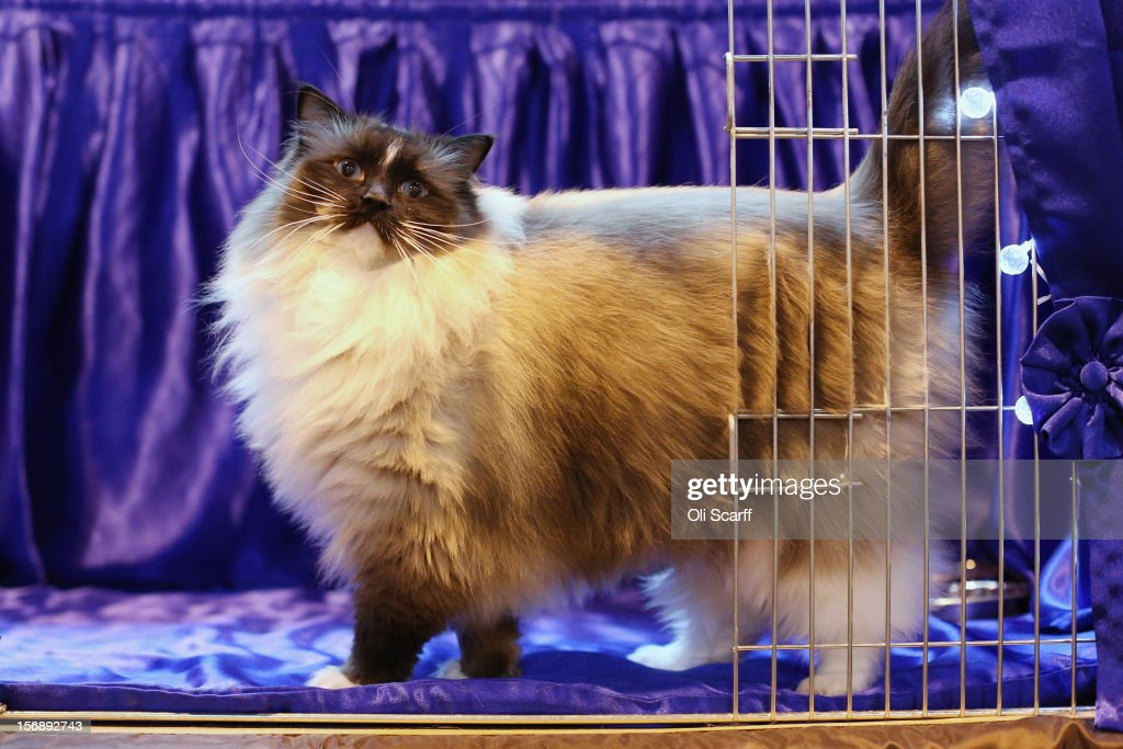 A cat named 'Bleugems Believe-in-me' awaits to be exhibited at the Governing Council of the Cat Fancy's 'Supreme Championship Cat Show' held in the NEC on November 24, 2012 in Birmingham, England. The one-day Supreme Cat Show is one of the largest cat fancy competitions in Europe with over one thousand cats being exhibited. Exhibitors aim to have their cat named as the show's 'Supreme Exhibit' from the winners of the individual categories of: Persian, Semi-Longhair, British, Foreign, Burmese, Oriental, Siamese.