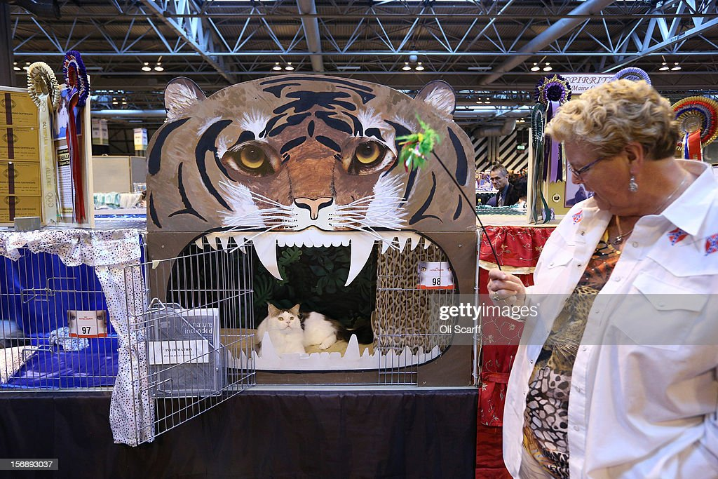 A cat named 'Bostin Buddy' looks towards its owner Heather Horton before being exhibited at the Governing Council of the Cat Fancy's 'Supreme Championship Cat Show' held in the NEC on November 24, 2012 in Birmingham, England. The one-day Supreme Cat Show is one of the largest cat fancy competitions in Europe with over one thousand cats being exhibited. Exhibitors aim to have their cat named as the show's 'Supreme Exhibit' from the winners of the individual categories of: Persian, Semi-Longhair, British, Foreign, Burmese, Oriental, Siamese.