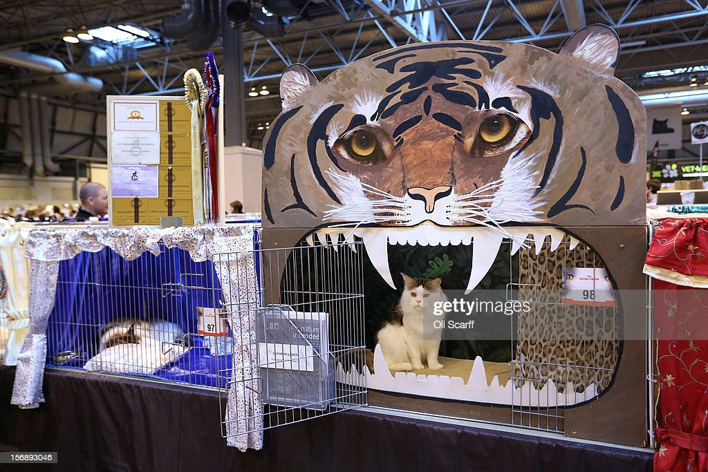 A cat named 'Bostin Buddy' waits in its pen before being exhibited at the Governing Council of the Cat Fancy's 'Supreme Championship Cat Show' held in the NEC on November 24, 2012 in Birmingham, England. The one-day Supreme Cat Show is one of the largest cat fancy competitions in Europe with over one thousand cats being exhibited. Exhibitors aim to have their cat named as the show's 'Supreme Exhibit' from the winners of the individual categories of: Persian, Semi-Longhair, British, Foreign, Burmese, Oriental, Siamese.