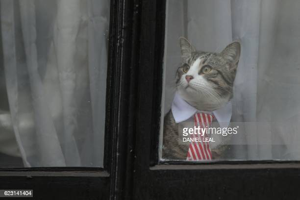 A cat named 'James' wearing a collar and tie looks out of the window of the Ecuadorian Embassy in London on November 14 2016 where WikiLeaks founder...