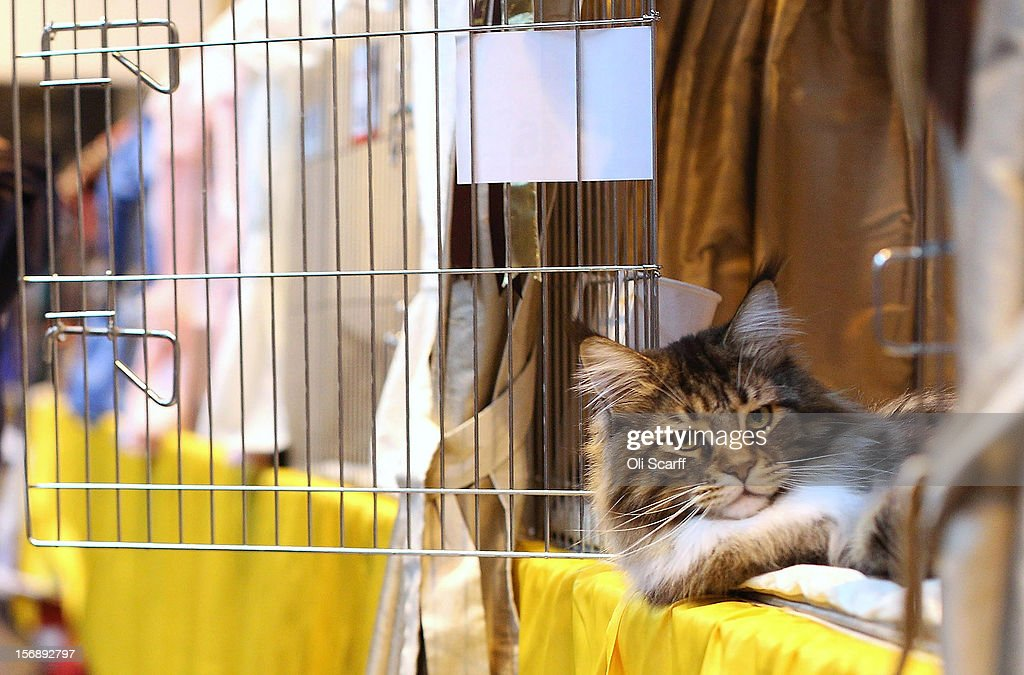 A cat named 'Mr Bojangles' sits with his owner as he awaits to be exhibited at the Governing Council of the Cat Fancy's 'Supreme Championship Cat Show' held in the NEC on November 24, 2012 in Birmingham, England. The one-day Supreme Cat Show is one of the largest cat fancy competitions in Europe with over one thousand cats being exhibited. Exhibitors aim to have their cat named as the show's 'Supreme Exhibit' from the winners of the individual categories of: Persian, Semi-Longhair, British, Foreign, Burmese, Oriental, Siamese.
