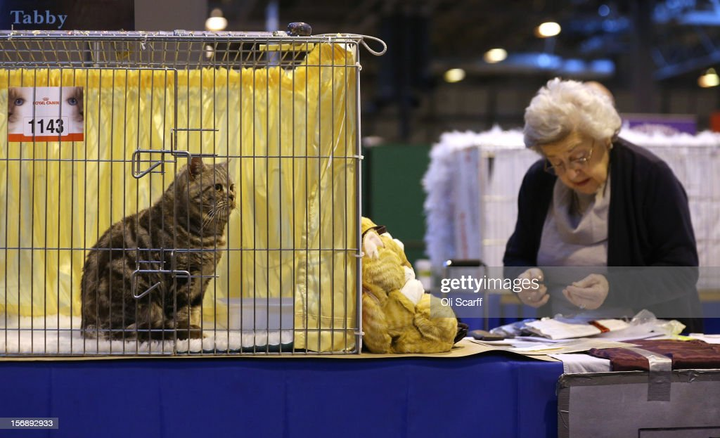 A cat named 'Wellmar Otto' sits at the Governing Council of the Cat Fancy's 'Supreme Championship Cat Show' held in the NEC on November 24, 2012 in Birmingham, England. The one-day Supreme Cat Show is one of the largest cat fancy competitions in Europe with over one thousand cats being exhibited. Exhibitors aim to have their cat named as the show's 'Supreme Exhibit' from the winners of the individual categories of: Persian, Semi-Longhair, British, Foreign, Burmese, Oriental, Siamese.