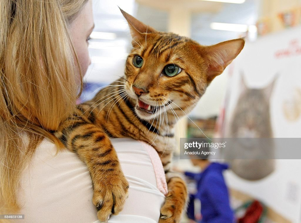 A cat of dwarf tiger cat breed called 'Toyger' is seen during a costume contest organized within the Cat Show 'Royal Feline' in Kiev, Ukraine May 28, 2016. The exhibition presents rare breed cats like dwarf tiger 'Toyger', the tiniest cat in the world, Singapore's cat, Somali's cat and many others.