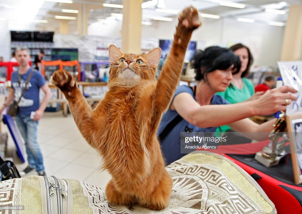 A cat of Somali cat breed is seen during the Cat Show 'Royal Feline' in Kiev, Ukraine May 28, 2016. The exhibition presents rare breed cats like dwarf tiger 'Toyger', the tiniest cat in the world, Singapore's cat, Somali's cat and many others.
