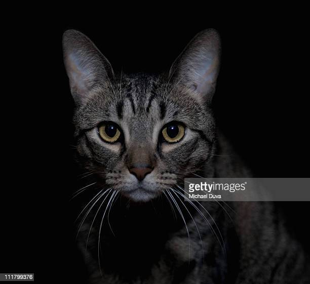Cat on black background looking at camera