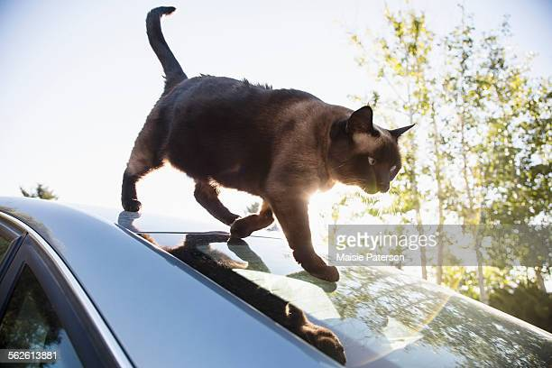 Cat on car roof