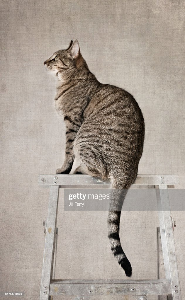 Cat on ladder : Stock Photo
