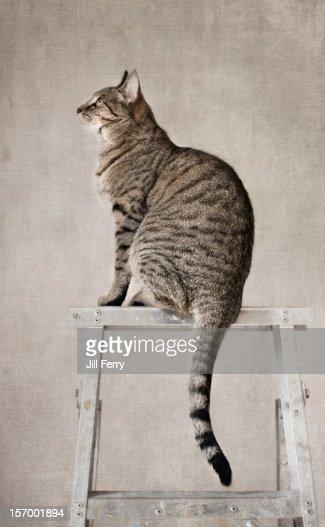 Cat on ladder : Stock Photo