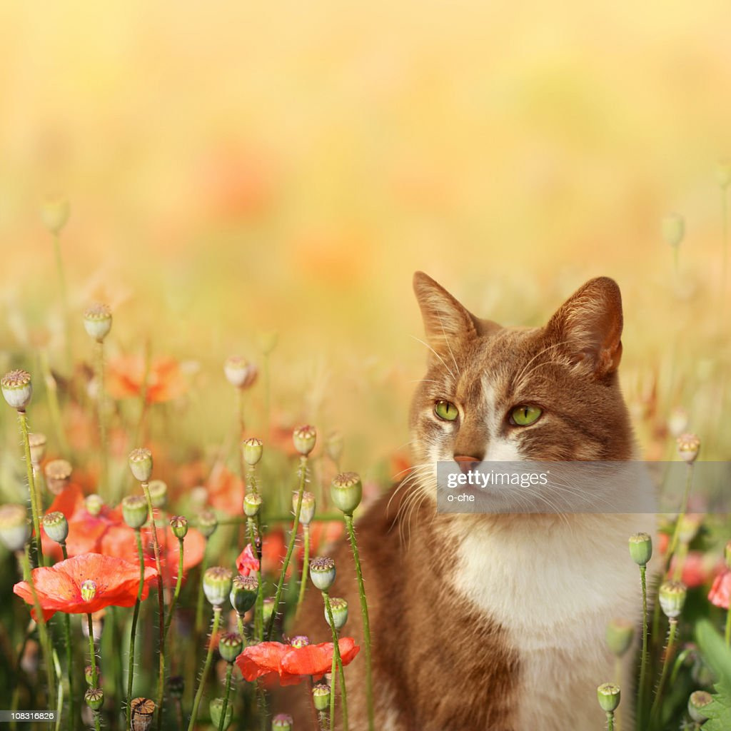 Cat on poppy field : Stock Photo