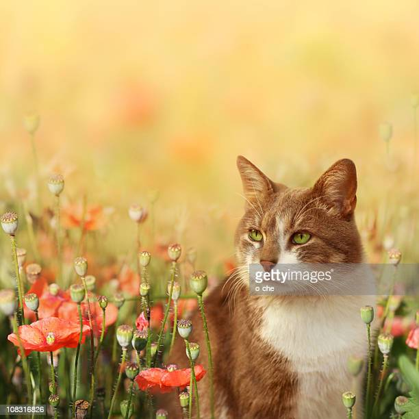Maine Coon Katze Stock Fotos Und Bilder Getty Images