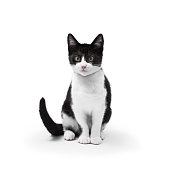 A short haired black and white kitten, in a studio environment, isolated on a white background.