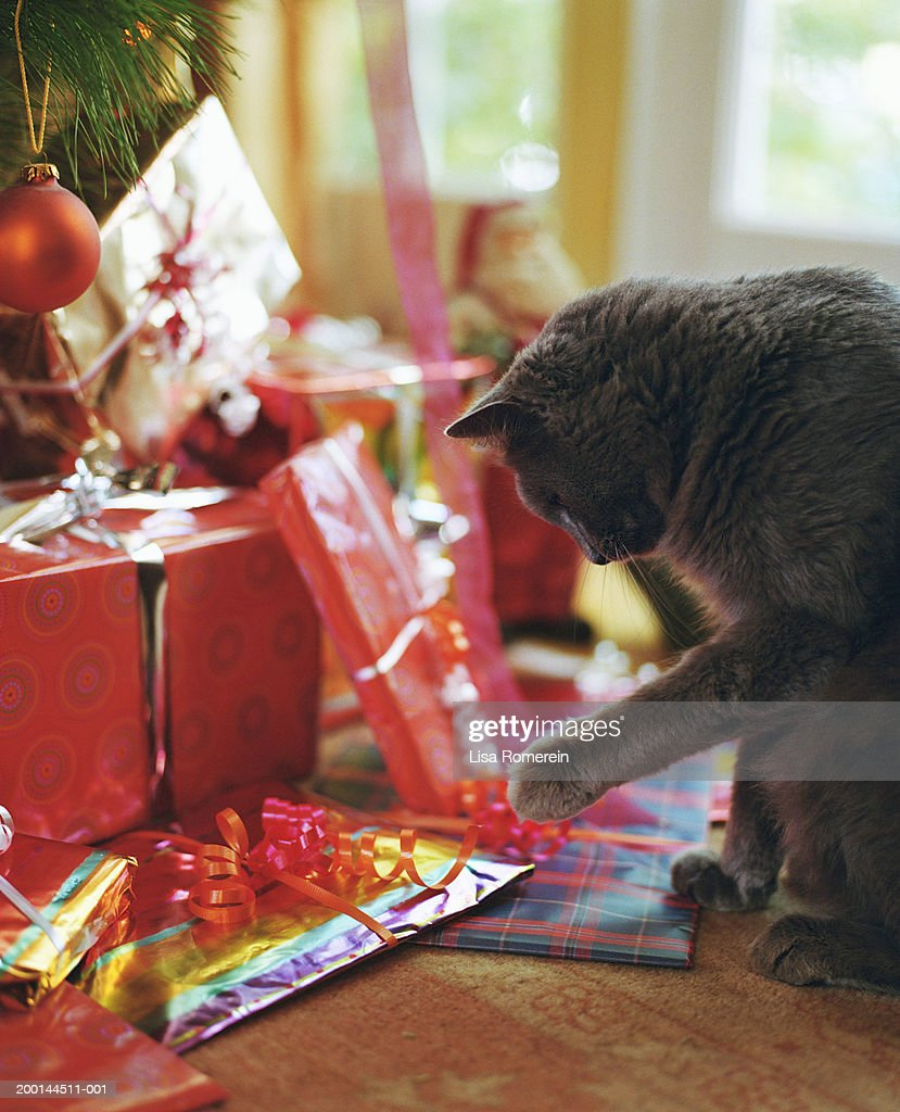 Cat pawing at ribbon on Christmas present under tree