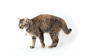 The mixed breed tabby cat on the whit background.