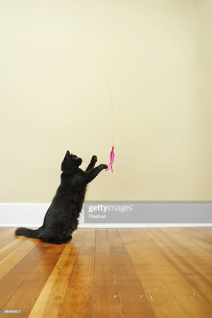 Cat playing with feather toy : Stock Photo