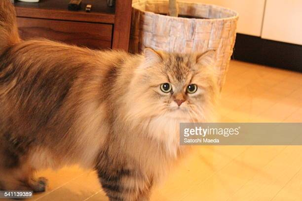 Cat PonPon