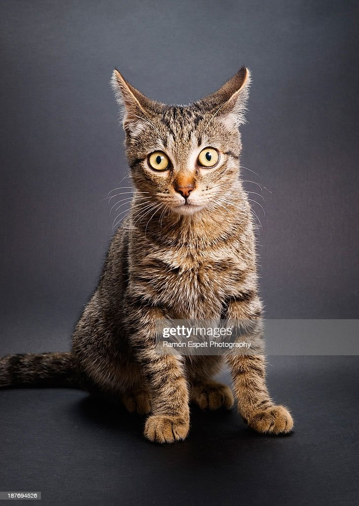 Cat portrait, studio shot : Stock Photo