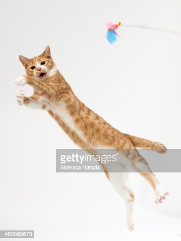 Cat pouncing on toy