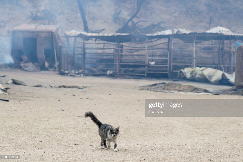 A cat prowls Padilla Ranch on Little Tujunga Road where 29 horses perished in Creek Fire yesterday on December 6, 2017 in Sylmar, California.