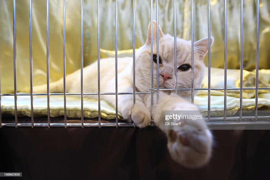 A cat reclines in its pen before being judged at the Governing Council of the Cat Fancy's 'Supreme Championship Cat Show' held in the NEC on November 24, 2012 in Birmingham, England. The one-day Supreme Cat Show is one of the largest cat fancy competitions in Europe with over one thousand cats being exhibited. Exhibitors aim to have their cat named as the show's 'Supreme Exhibit' from the winners of the individual categories of: Persian, Semi-Longhair, British, Foreign, Burmese, Oriental, Siamese.