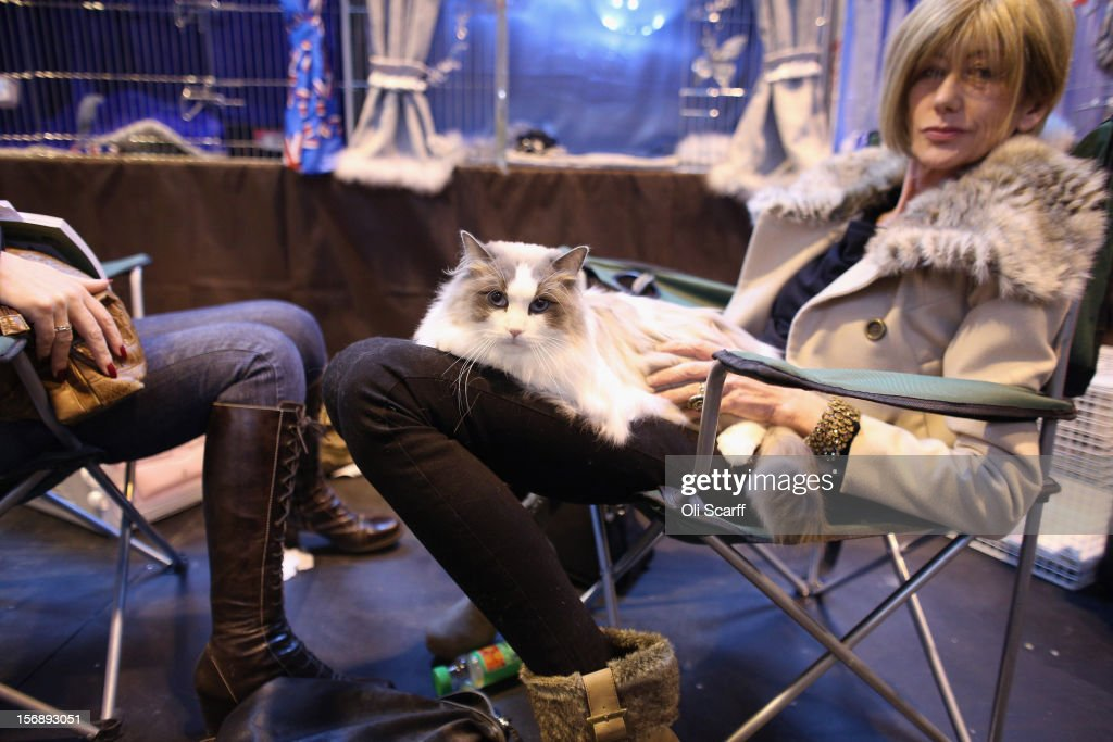 A cat reclines with his owner before being exhibited at the Governing Council of the Cat Fancy's 'Supreme Championship Cat Show' held in the NEC on November 24, 2012 in Birmingham, England. The one-day Supreme Cat Show is one of the largest cat fancy competitions in Europe with over one thousand cats being exhibited. Exhibitors aim to have their cat named as the show's 'Supreme Exhibit' from the winners of the individual categories of: Persian, Semi-Longhair, British, Foreign, Burmese, Oriental, Siamese.
