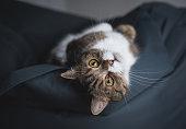 tabby british shorthair cat relaxing on bean bag upside down looking at camera