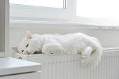 Beautiful white cat relaxing on the radiator closeup