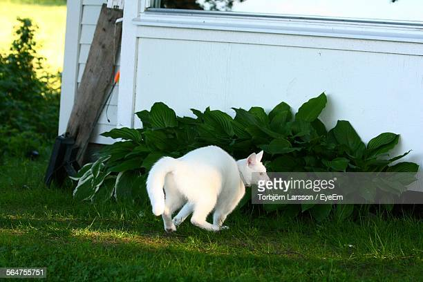 Cat Running In Front Or Back Yard