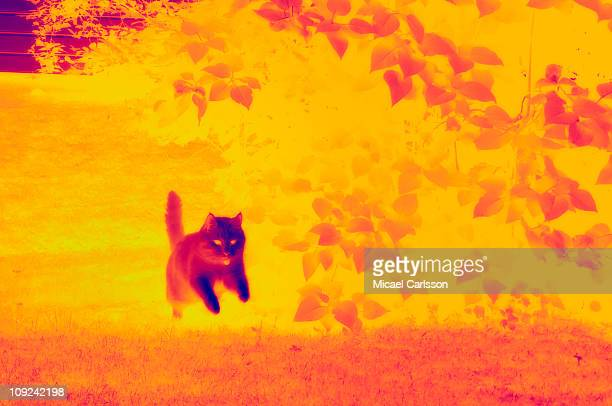 Cat running on grass in infrared