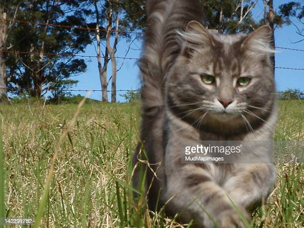 Cat running through grass paddock