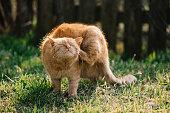 Cat scratching outdoor. Cute red cat.