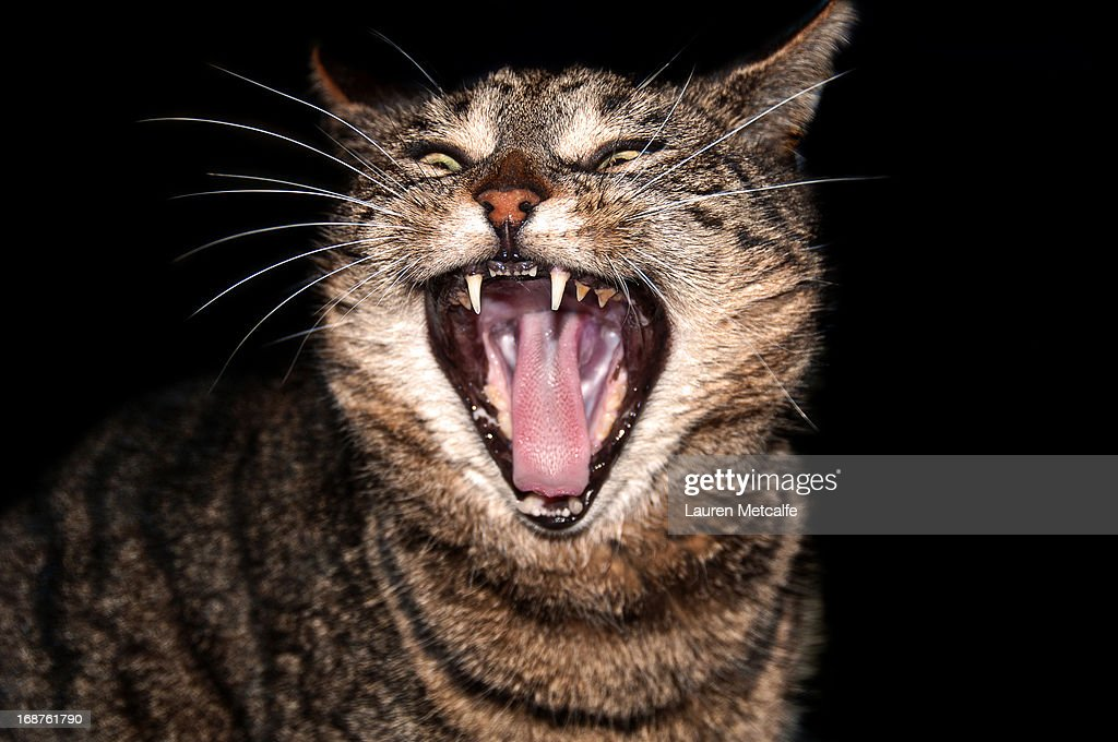 Cat showing teeth : Stock Photo