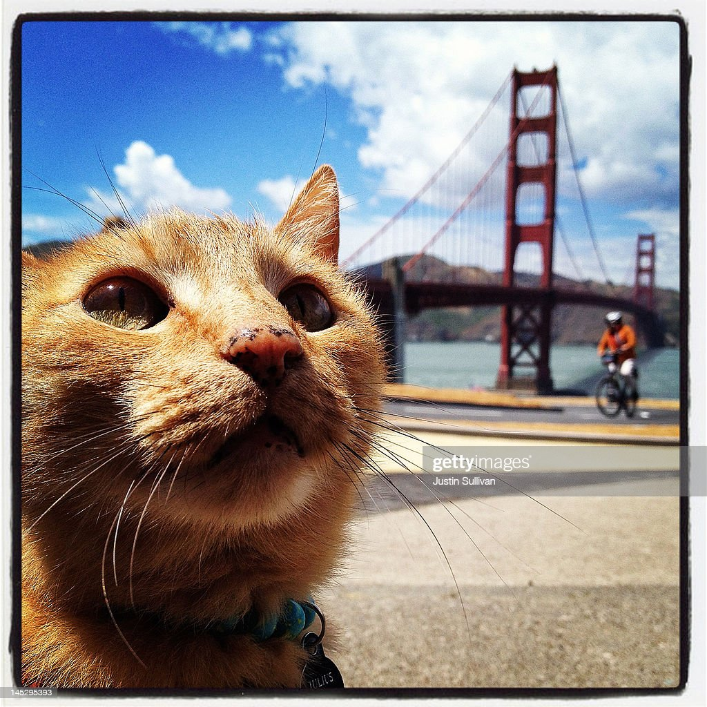 A cat sits in front of the Golden Gate Bridge on May 25, 2012 in San Francisco, California. The Golden Gate Bridge, Highway and Transportation District is preparing for the 75th anniversary of the iconic Golden Gate Bridge that will be marked with a festival on May 26 - 27 that will feature music, displays of bridge artifacts and art exhibits. The 1.7 mile steel suspension bridge, one of the modern Wonders of the World, opened to traffic on May 27, 1937.
