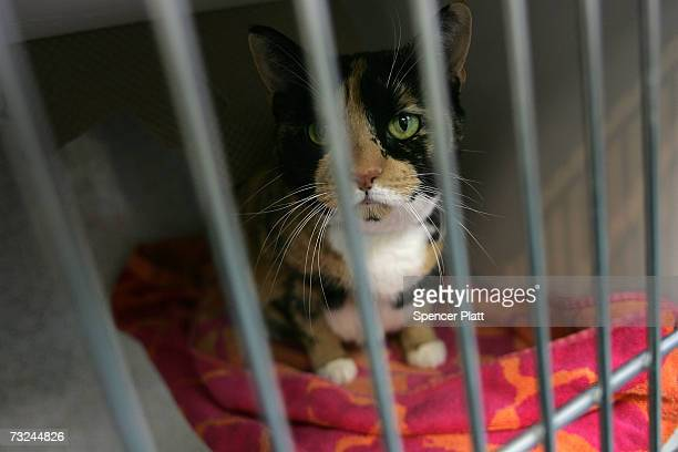 A cat sits in her cage at the Staten Island's Animal Care and Control Shelter February 7 2007 in Staten Island New York The shelter is currently...