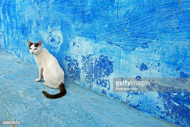 Cat sitting against deep blue wall
