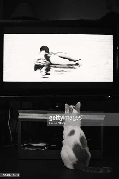 Cat sitting and watching duck in television
