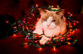 Cat sitting on a ball of Christmas lights.
