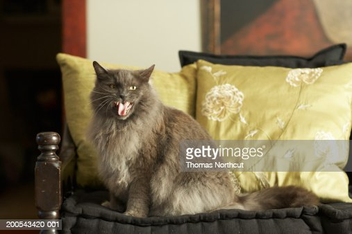 Cat sitting on armchair, meowing