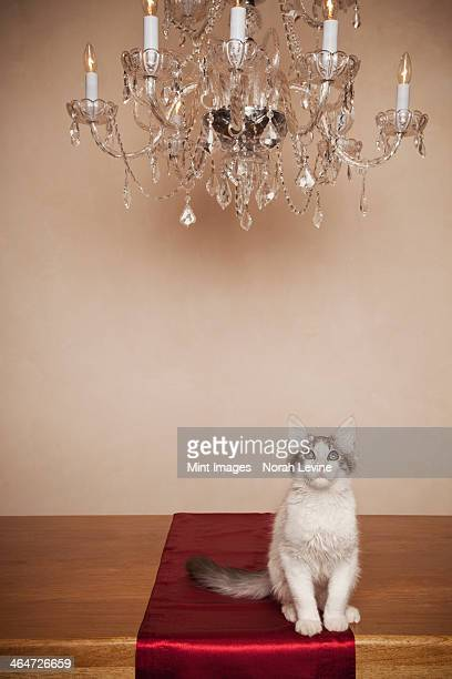 A cat sitting under a chandelier in a house.