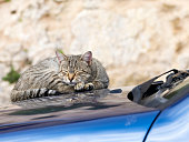 Cat slept in the street on the boss of a car