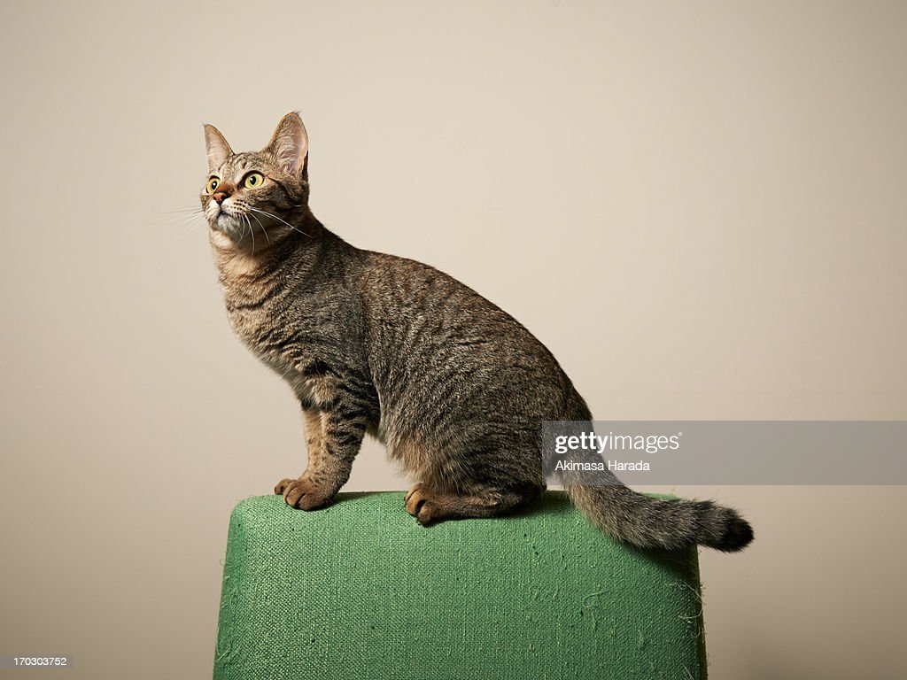 Cat standing in the back of the chair : Stock Photo