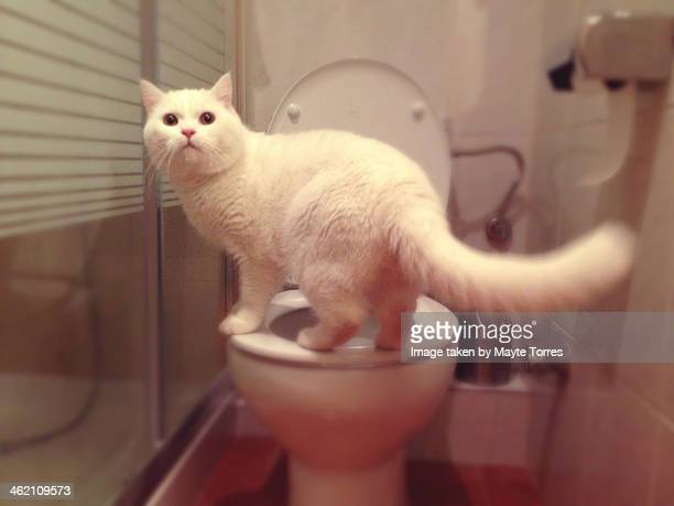 Cat standing in toilet