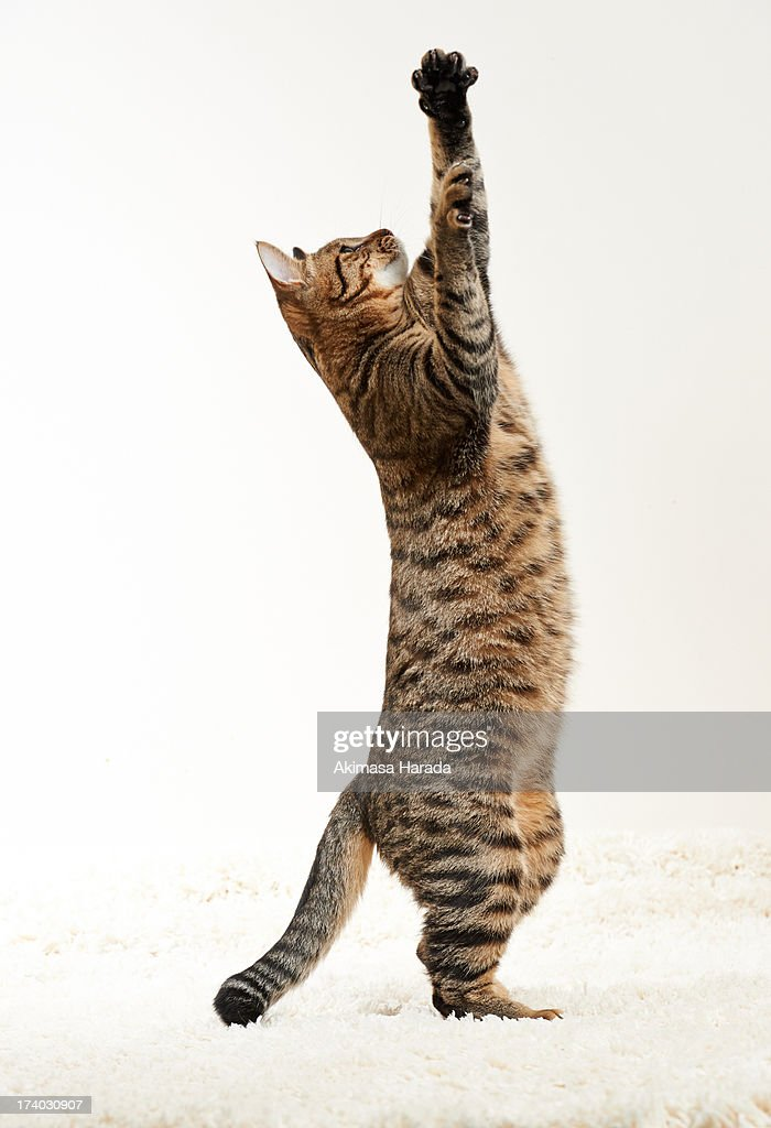 Cat standing : Stock Photo