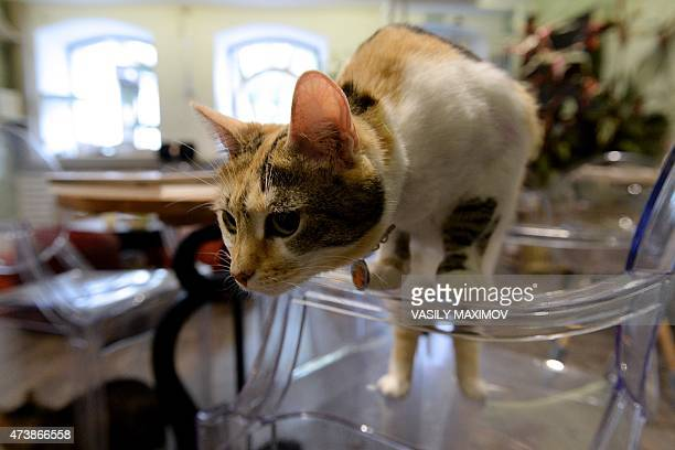 A cat stands on a chair at Moscow's Cats and People cat cafe on May 18 2015 Cat cafes allow customers who cannot have a pet at home to enjoy a cup of...
