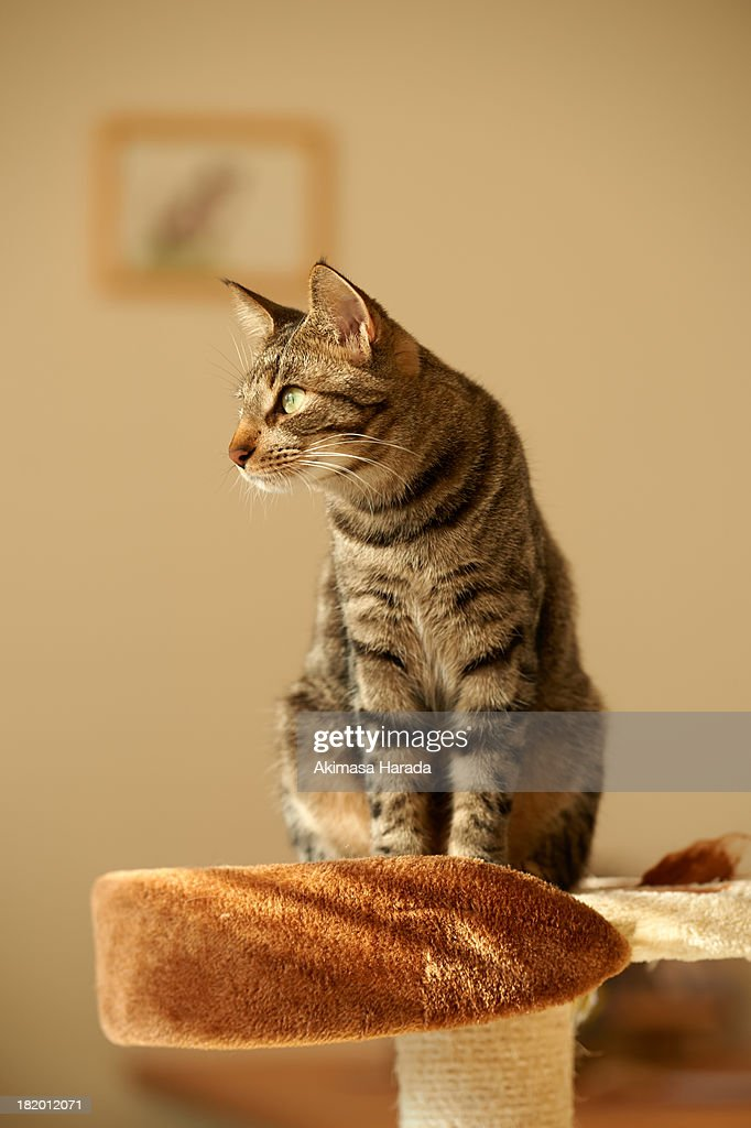 Cat stands on cat tower : Stock Photo