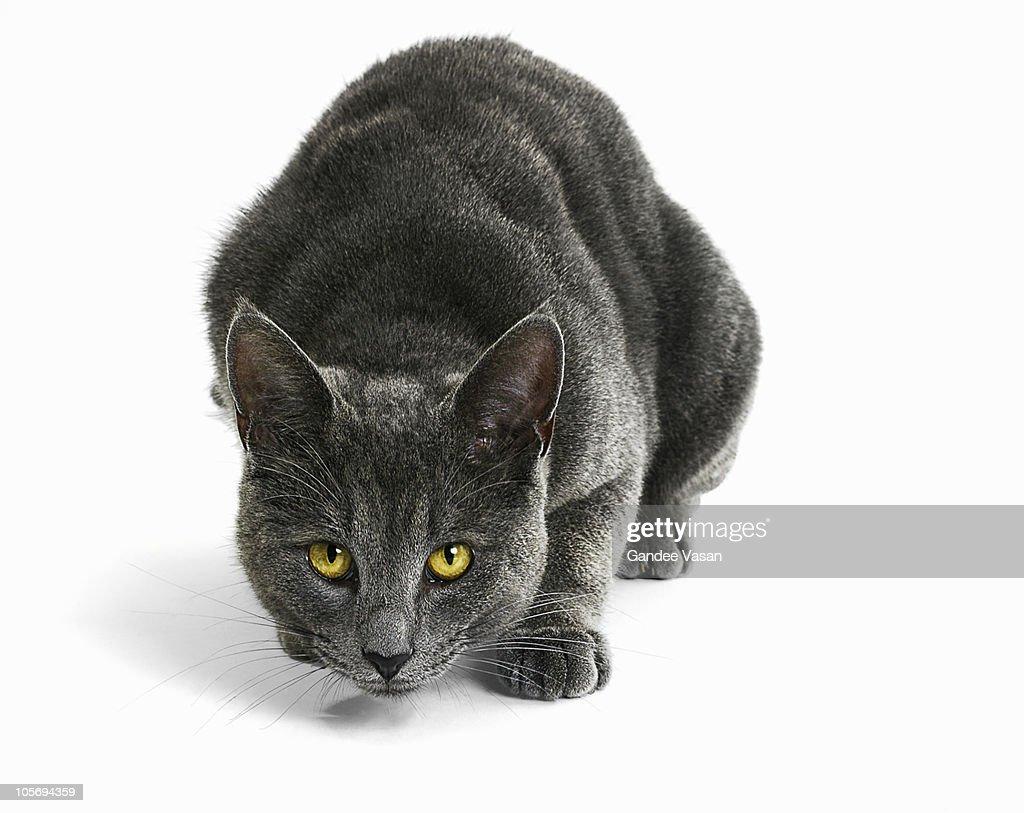 Cat Staring : Stock Photo
