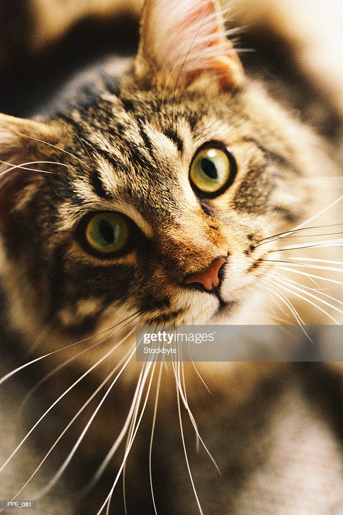 Cat staring : Stock Photo