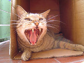 A cat stay in the box and yawn