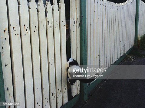 Cat Stuck In Wooden Fence