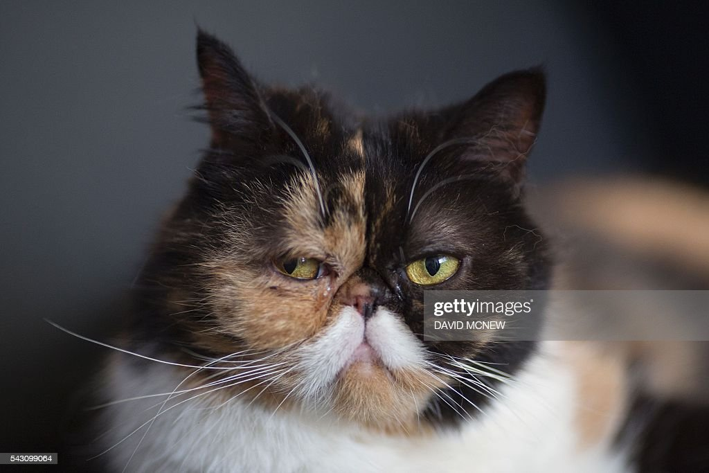 A cat that is popular throughout social media, Pudge, is seen at CatConLA, a convention to show cat-related products and ideas in art, design, and pop culture, on June 25, 2016 in Los Angeles, California. / AFP / DAVID